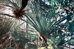 Vista di parte di sotto delle palme in giardino botanico Fondo botanico nei toni freddi Fotografia Stock