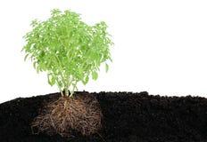 Vista di piccola pianta del basilico in terreno Immagini Stock