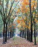 Vista di primo mattino nella foresta dell'albero di gomma Immagine Stock Libera da Diritti
