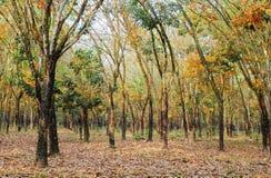 Vista di primo mattino nella foresta dell'albero di gomma Fotografie Stock