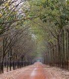 Vista di primo mattino nella foresta dell'albero di gomma Immagini Stock