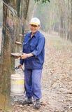 Vista di primo mattino nella foresta dell'albero di gomma Fotografia Stock