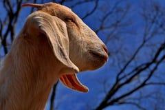 Vista di profilo del Boer Immagini Stock