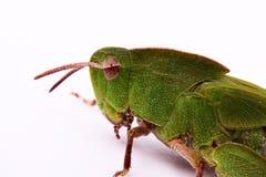 Vista di profilo di un corpo superiore delle cavallette verdi Immagini Stock