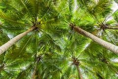 Vista di prospettiva dell'albero del cocco Fotografie Stock