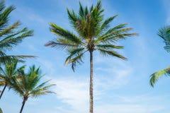Vista di prospettiva dell'albero del cocco dal pavimento inferiore Immagine Stock