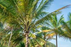 Vista di prospettiva dell'albero del cocco dal pavimento inferiore Fotografia Stock