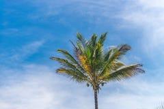 Vista di prospettiva dell'albero del cocco dal pavimento inferiore Immagine Stock Libera da Diritti