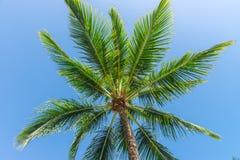 Vista di prospettiva dell'albero del cocco dal pavimento inferiore Fotografie Stock
