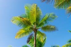 Vista di prospettiva dell'albero del cocco dal pavimento inferiore Fotografia Stock Libera da Diritti