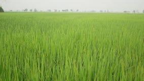 vista di riso stock footage