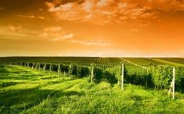 Vista di sera delle vigne Fotografia Stock