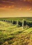 Vista di sera delle vigne Immagini Stock Libere da Diritti