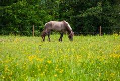 Vista di Tarpan, cavalli selvaggii Immagine Stock Libera da Diritti