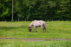 Vista di Tarpan, cavalli selvaggii Fotografie Stock
