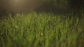 Vista di tramonto contro la canna verde che passa vento con i flash ed i raggi gialli archivi video