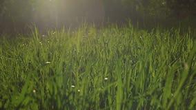 Vista di tramonto contro la canna verde che passa vento con i flash ed i raggi gialli stock footage