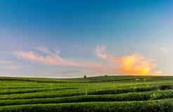 Vista di tramonto del paesaggio della piantagione di tè Immagine Stock