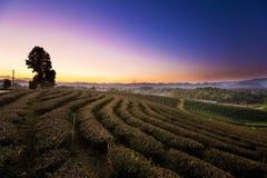 Vista di tramonto del paesaggio della piantagione di tè Fotografie Stock Libere da Diritti