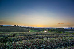Vista di tramonto del paesaggio della piantagione di tè Immagini Stock Libere da Diritti