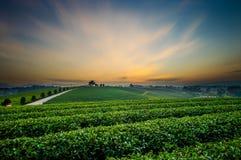Vista di tramonto del paesaggio della piantagione di tè Immagine Stock Libera da Diritti
