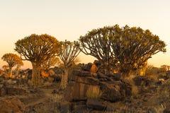 Vista di tramonto della foresta dell'albero del fremito a Garas Fotografia Stock Libera da Diritti