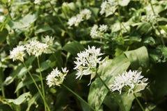 Vista di un fiore dell'aglio dell'orso - ursinum del primo piano dell'allium - Immagine Stock Libera da Diritti