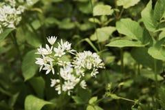 Vista di un fiore dell'aglio dell'orso - ursinum del primo piano dell'allium - Fotografia Stock
