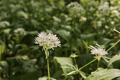 Vista di un fiore dell'aglio dell'orso - ursinum del primo piano dell'allium - Fotografie Stock Libere da Diritti