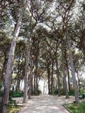 Vista di un viale del pino in Crimea E Fotografia Stock