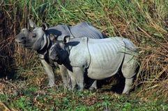 Vista di una famiglia di rinoceronte. fotografia stock libera da diritti