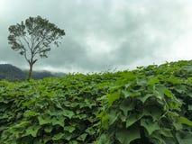 Vista di una piantagione delle zucchine centenarie in un giorno nuvoloso Fotografia Stock
