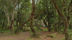 Vista di vecchia foresta con i suoi alberi coperti di muschio sull'isola del Madera stock footage