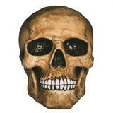 Vista dianteira do crânio humano Imagem de Stock
