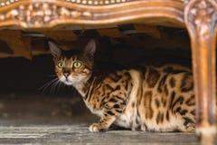 Vista dianteira no gato bonito de bengal que encontra-se sob a cadeira no assoalho que olha a câmera no estúdio Fotos de Stock