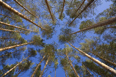 Vista disparada acima em um dossel de árvores de pinho Fotos de Stock Royalty Free