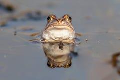 Vista divertente del frontale della testa della rana Fotografie Stock Libere da Diritti