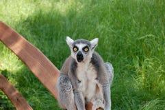 Vista do animal do Lemur   Imagens de Stock