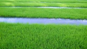Vista do broto novo do arroz pronto ao crescimento no campo do arroz Fotos de Stock