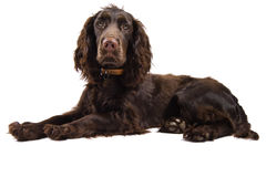 Vista do cão do spaniel de cocker de Brown Fotografia de Stock