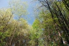 Vista do céu através dos ramos e dos troncos de árvores diferentes grandes na floresta misturada fotos de stock royalty free