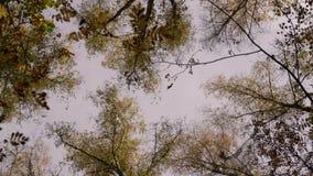 A vista do céu através dos ramos moventes de árvores de vidoeiro filme