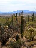 A vista do deserto de Sonoran Fotos de Stock Royalty Free