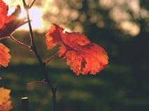Vista do fole no vinhedo do carst em cores do outono no por do sol Folhas vermelhas da laranja em fios Imagens de Stock Royalty Free