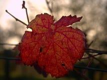 Vista do fole no vinhedo do carst em cores do outono no por do sol Folhas vermelhas da laranja em vires Imagens de Stock Royalty Free