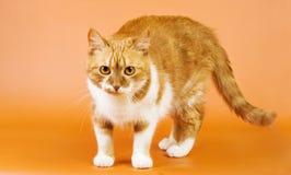 Vista do gato do gengibre fotografia de stock royalty free
