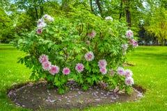 Vista do jardim bonito com gramado verde e as peônias de florescência da árvore - suffruticosa do Paeonia imagem de stock