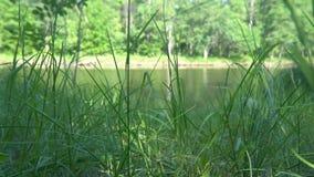 Vista do lago e da floresta através da grama litoral video estoque
