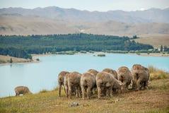 Vista do lago Tekapo com os carneiros que pastam no primeiro plano fotos de stock royalty free