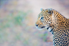 Vista do leopardo Foto de Stock